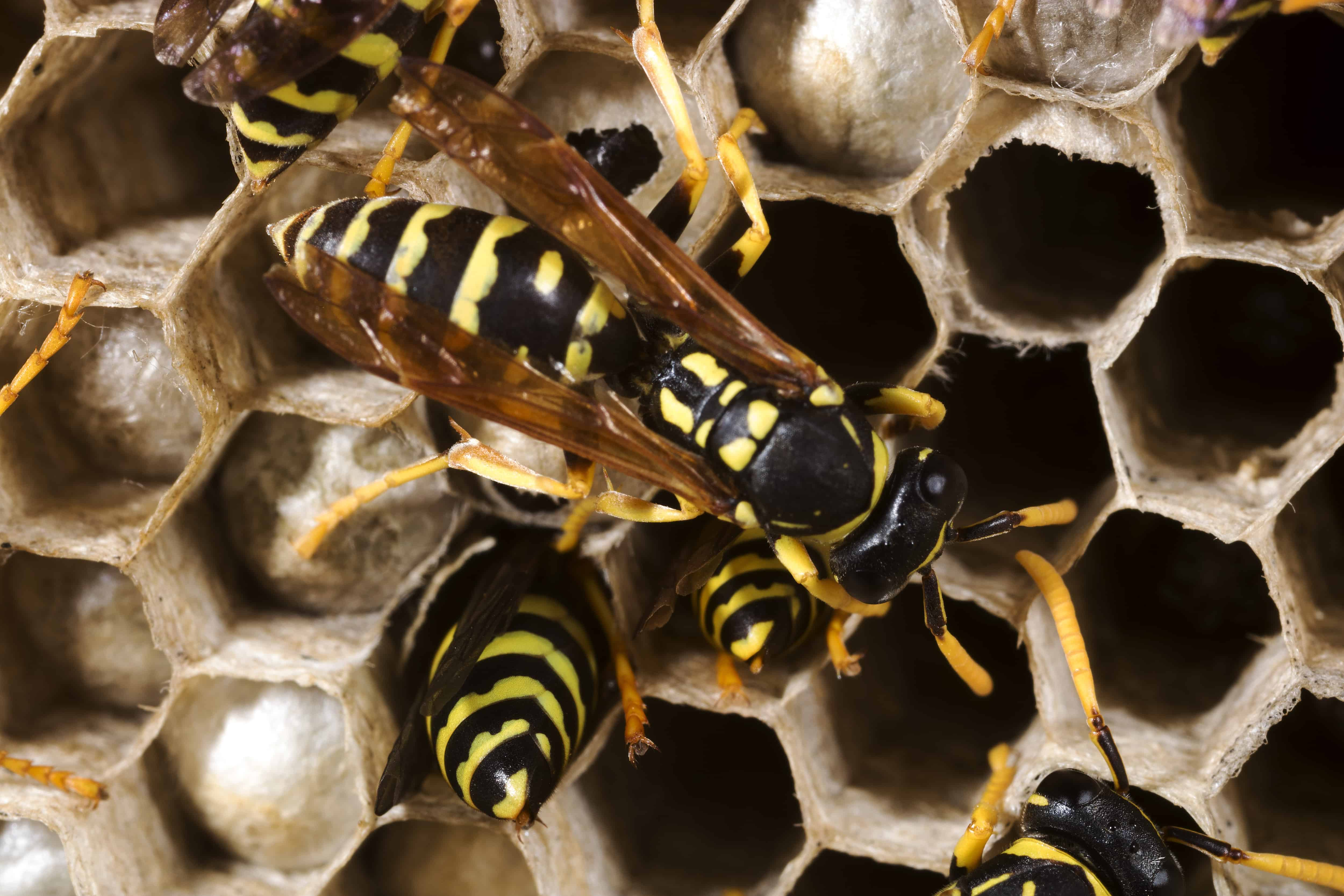 Professional Wasp and Bee Control (Lantra)